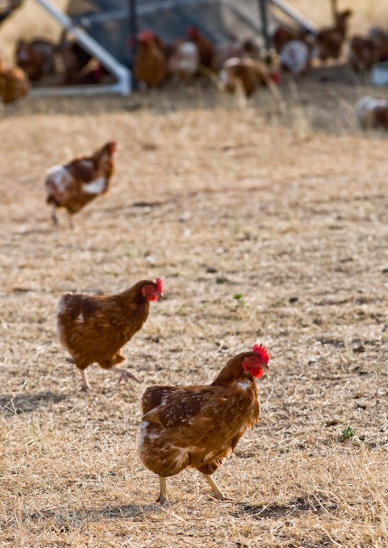 Coyote Creek Farm - Hens