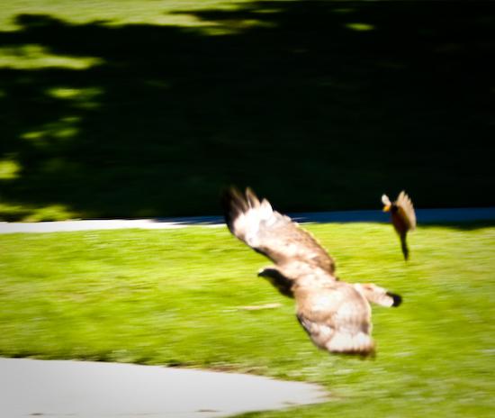 Robin Attacking Hawk