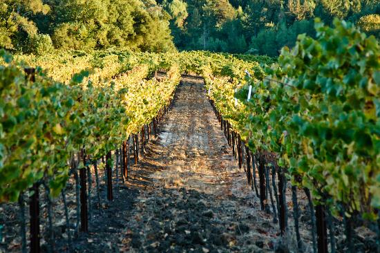 Vines of Camalie Vineyards